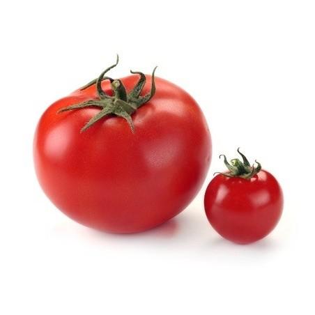 Tomate moyenne - Hollande